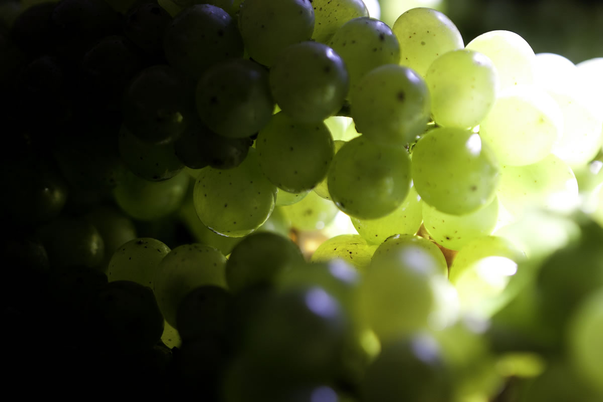 bramon-gallery-Grapes