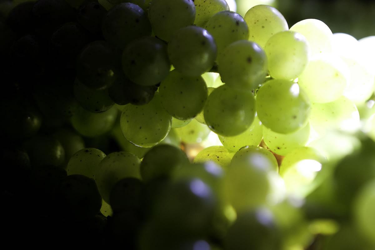 bramon-gallery-Grapes